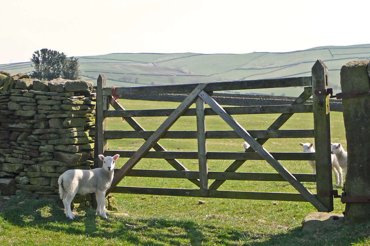 Sheep and Sheep Gate