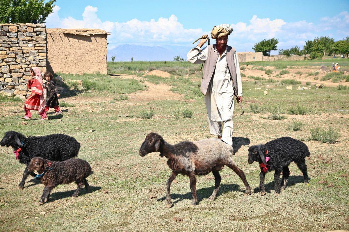 sheep and shepherd