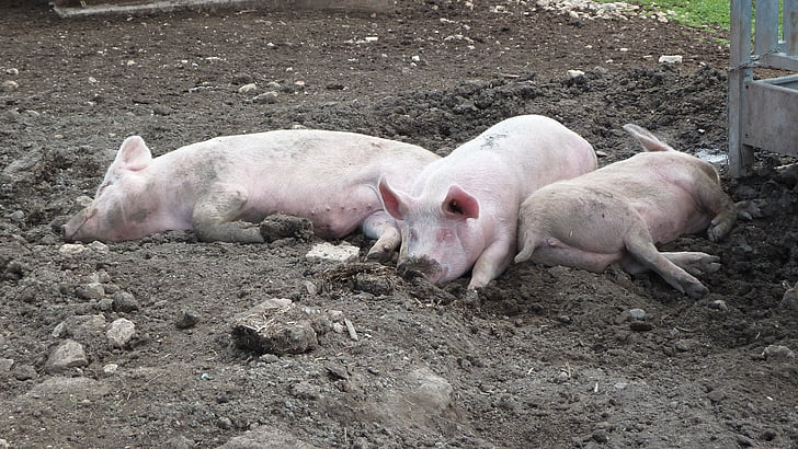 pigs laying in dirt